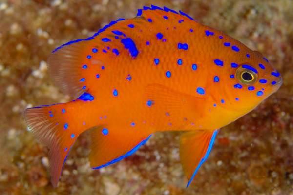 pez damisela Hypsypops rubicundus