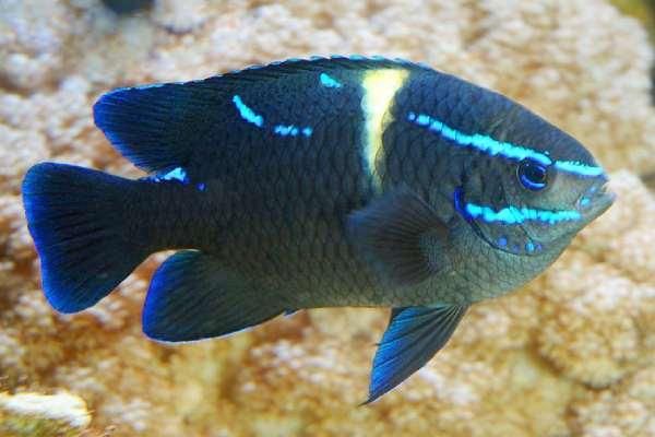 pez damisela Neoglyphidodon oxyodon