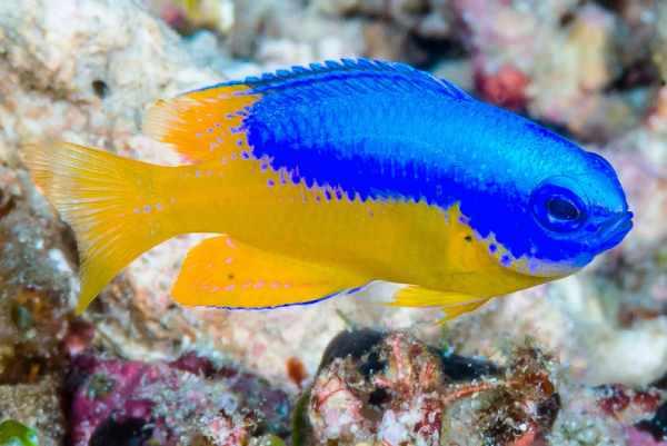 pez damisela Pomacentrus auriventris