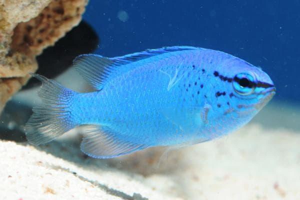Pez Damisela Azul hembra