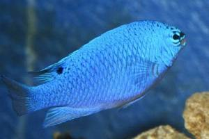 Pez Damisela Azul Chrysiptera cyanea