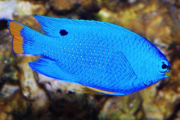 Pez Damisela Azul macho