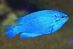 Pez Damisela Azul
