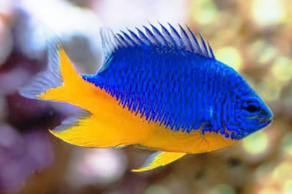 Pez Damisela Medio Azul