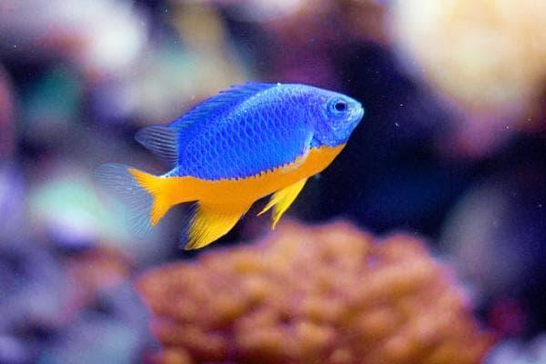 Pez Damisela Medio Azul Chrysiptera hemicyanea