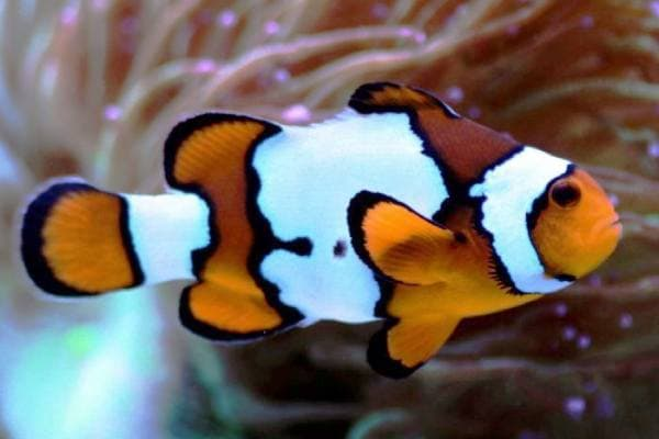Pez Payaso Ocellaris Black Ice Snowflake Clownfish