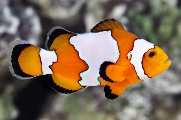 Pez Payaso Ocellaris Snowflake Clownfish 1