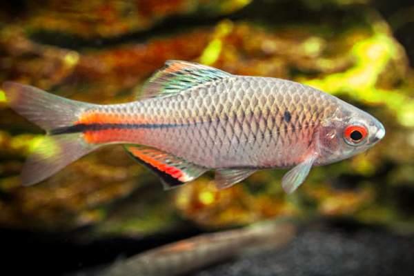 pez Bitterling