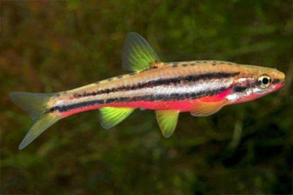 pez Redbelly Dace