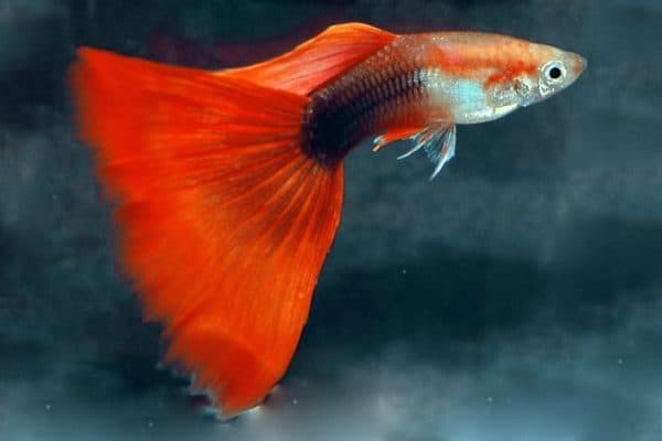 guppy Half-Black Red