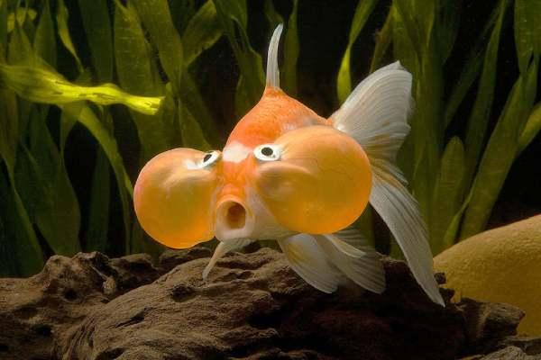 Goldfish Burbuja