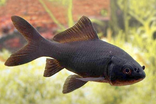 pez cometa negro comet black goldfish
