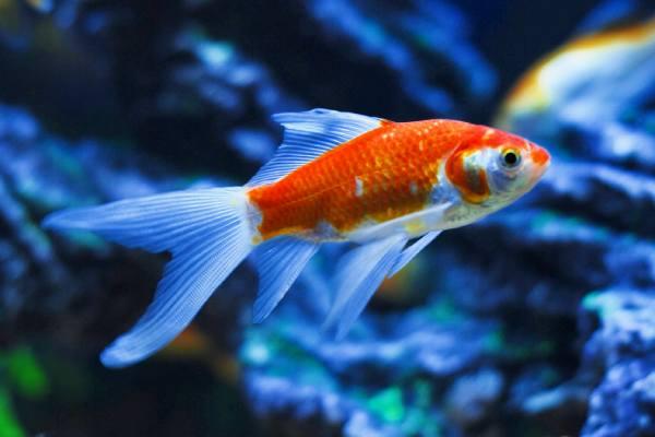 pez dorado cometa