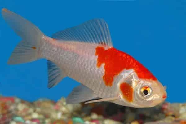 pez cometa de estanque