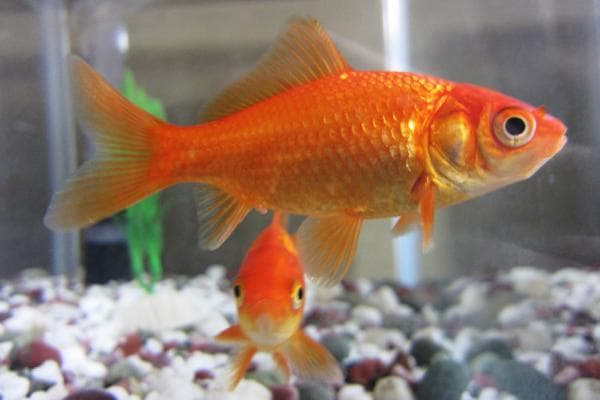 goldfish comun