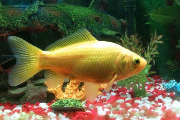 pez carpin amarillo