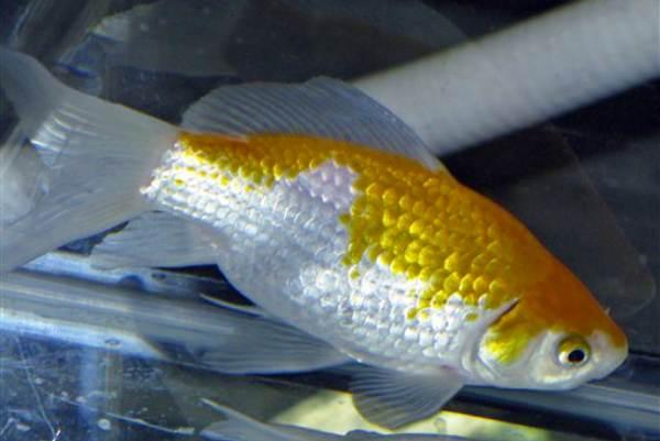 pez dorado dorado y blanco