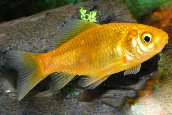 pez dorado amarillo