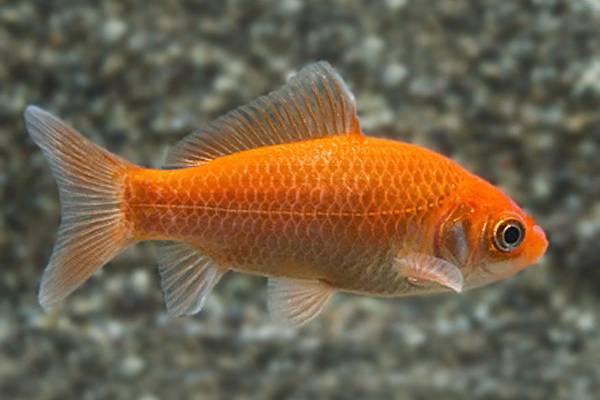 pez dorado común