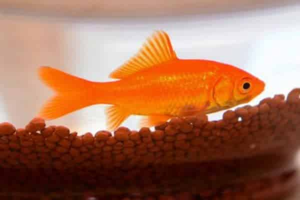 pez dorado naranja