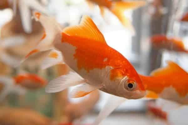 carpa dorada naranja y blanca